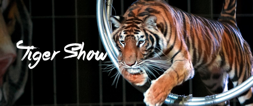 Chiang mai night safari tickettail - Show me a picture of the tiger ...
